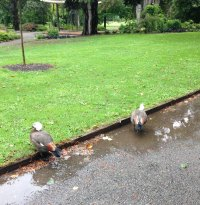 Birds bathing in puddle
