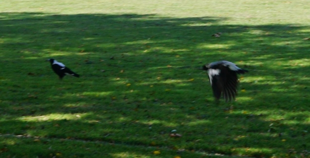 NZ Hagley Park bird flying away