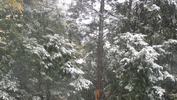Snow sprinkled evergreen trees in autumn