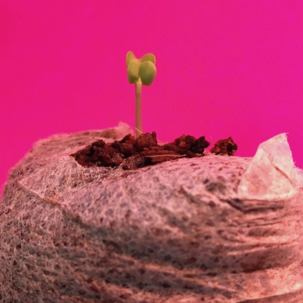 Kale sprout one inch tall